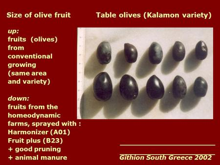 Size of olive fruit Table olives (Kalamon variety) up: fruits (olives) from conventional growing (same area and variety) down: fruits from the homeodynamic.
