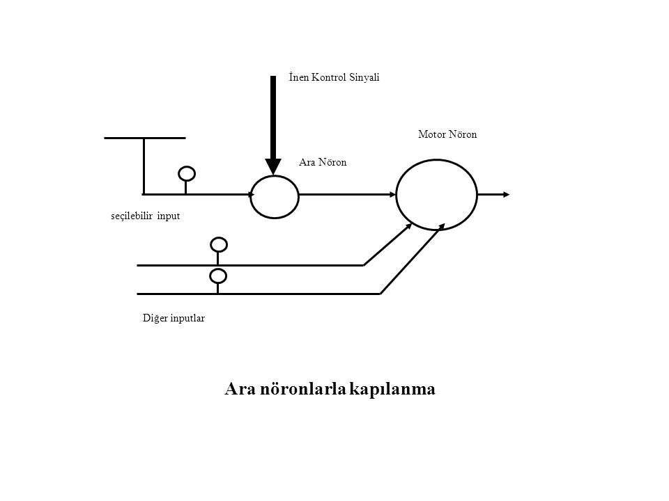 İnen kontrol sinyali Aranöron ya da motor nöron seçilebilir input Presinaptik inhibisyonla kapılanma