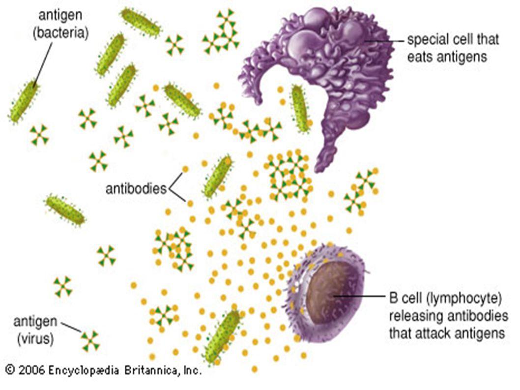 Η ΟΔΟΣ ΤΟΥ ΣΥΜΠΛΗΡΩΜΑΤΟΣ προσελκύουν το πρώτο συστατικό του καταρράκτη του συμπληρώματος με τον Fc υποδοχέα ενεργοποίηση της κλασσικής οδού του συμπληρώματος σημαδεύει το μικρόβιο για πέψη από τα φαγοκύτταρα(οψωνοποίηση) μερικά συστατικά του συμπληρώματος σχηματίζουν μια μορφή που επιτίθεται στην μεμβράνη