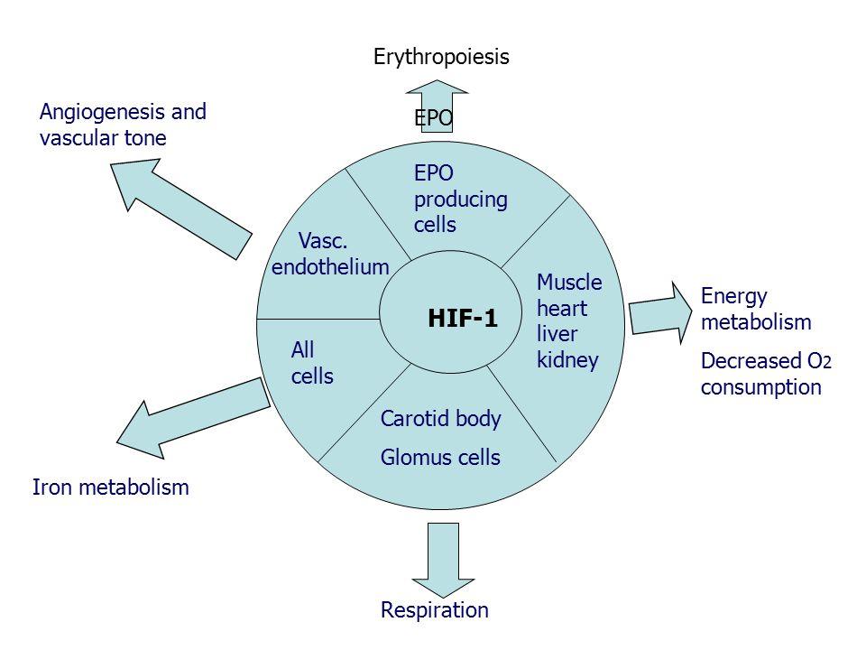 HIF-1 Erythropoiesis Angiogenesis and vascular tone EPO