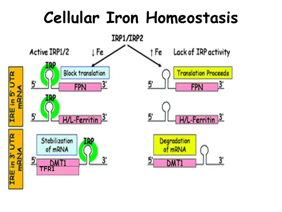 Cellular Iron Homeostasis