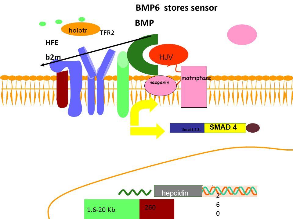 BMP6 stores sensor BMP HFE b2m holotr TFR2 HJV SMAD 4 hepcidin 260 260