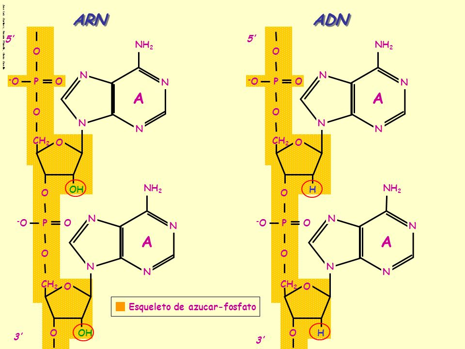 ARN ADN A A A A 5' 5' NH2 NH2 O O N N -O P O N -O P O N O O N N N N