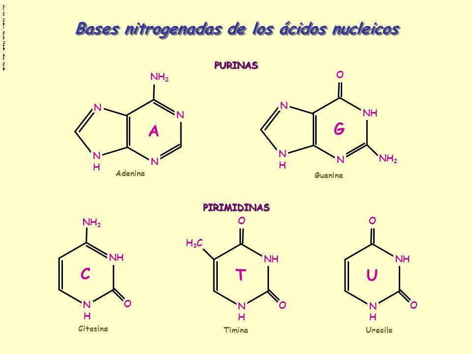 Bases nitrogenadas de los ácidos nucleicos