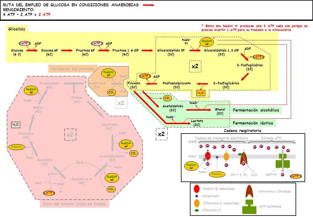 x2 x2 x2 x2 RUTA DEL EMPLEO DE GLUCOSA EN CONDICIONES ANAEROBIAS