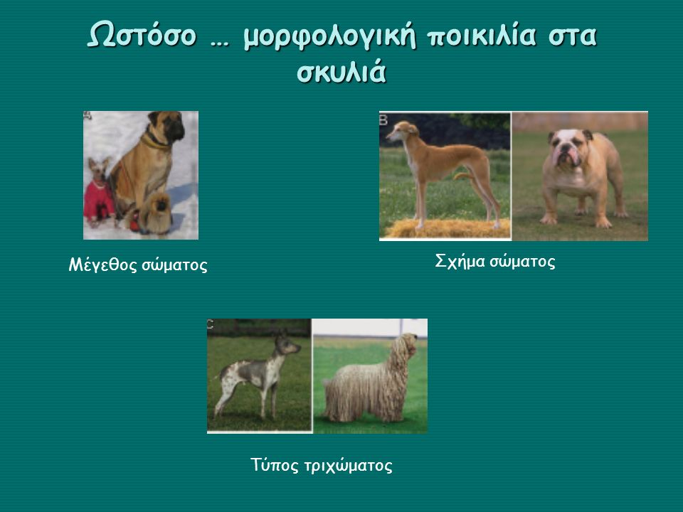 Ωστόσο … μορφολογική ποικιλία στα σκυλιά
