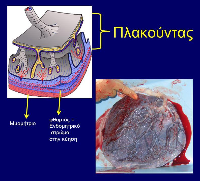 Πλακούντας φθαρτός = Ενδομητρικό στρώμα στην κύηση Μυομήτριο