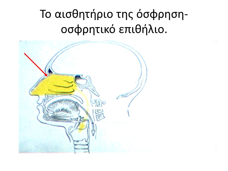 Το αισθητήριο της όσφρηση- οσφρητικό επιθήλιο.