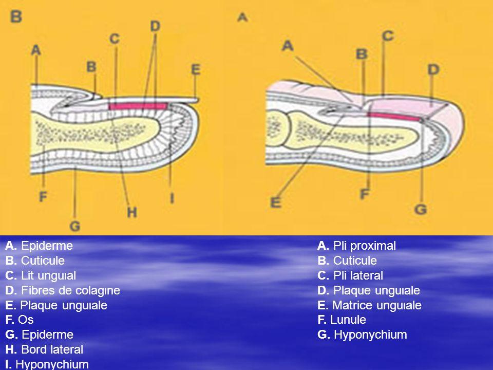 A. Epiderme B. Cuticule C. Lit unguιal D. Fibres de colagιne E
