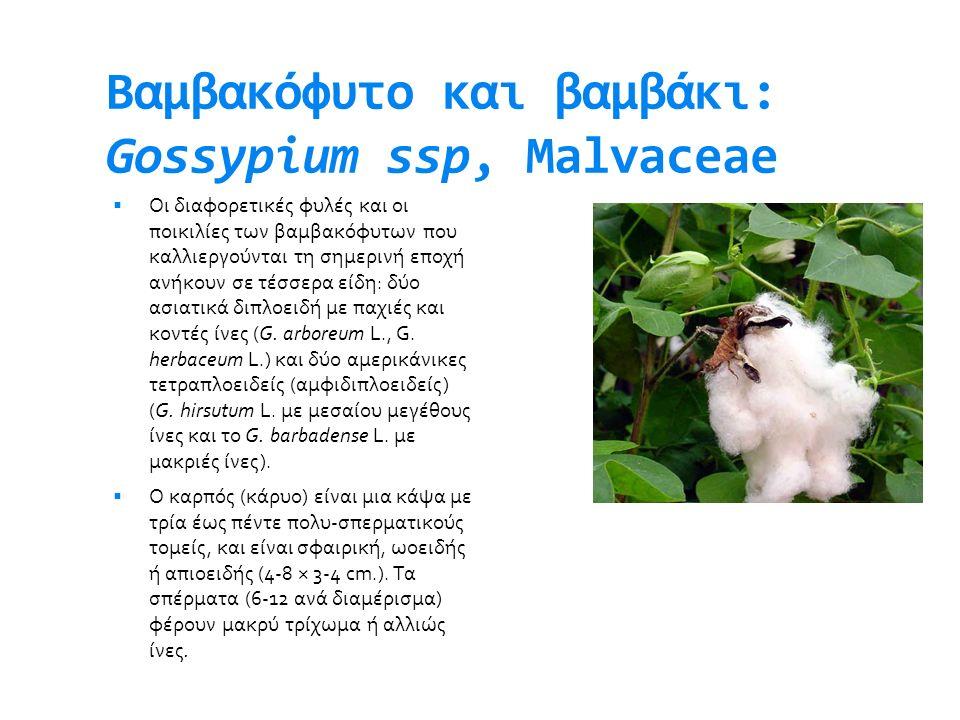 Βαμβακόφυτο και βαμβάκι: Gossypium ssp, Malvaceae