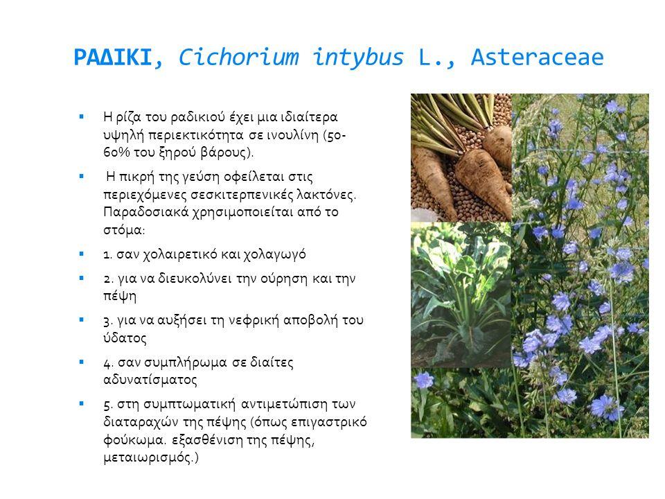 ΡΑΔΙΚΙ, Cichorium intybus L., Asteraceae