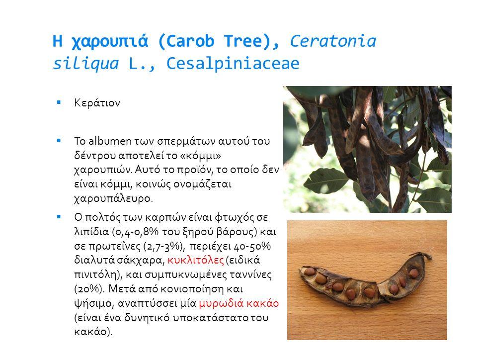 H χαρουπιά (Carob Tree), Ceratonia siliqua L., Cesalpiniaceae