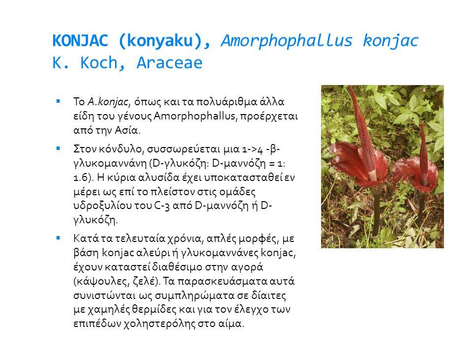 KONJAC (konyaku), Amorphophallus konjac K. Koch, Araceae