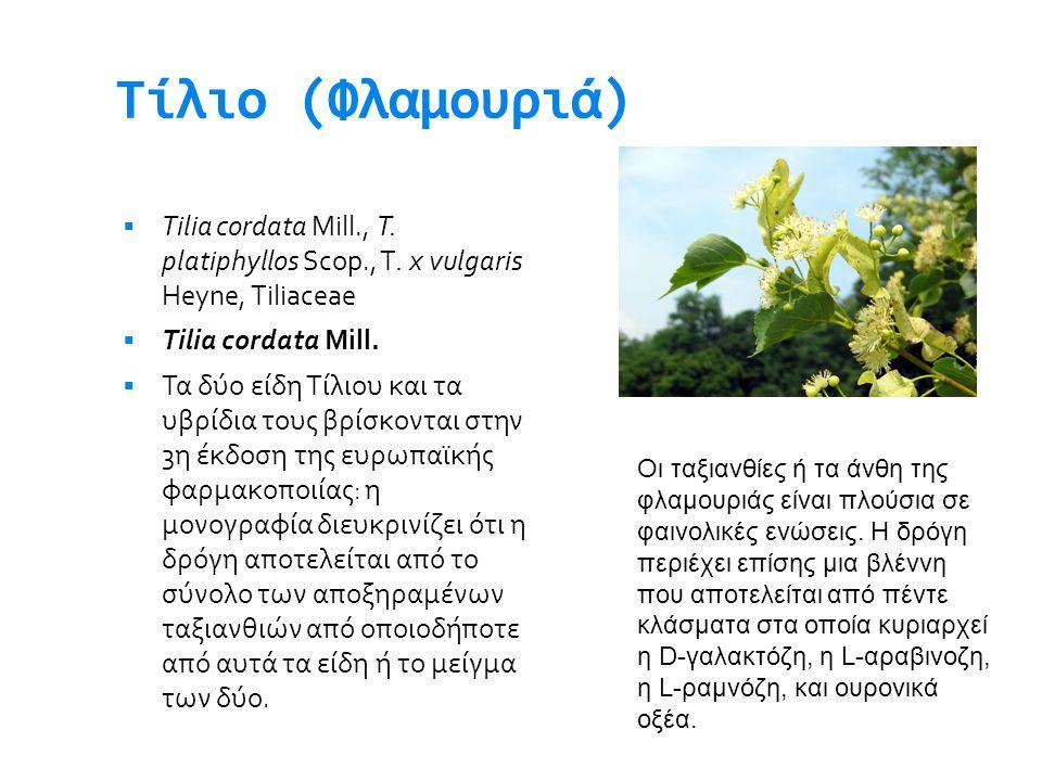 Τίλιο (Φλαμουριά) Tilia cordata Mill., T. platiphyllos Scop., T. x vulgaris Heyne, Tiliaceae. Tilia cordata Mill.