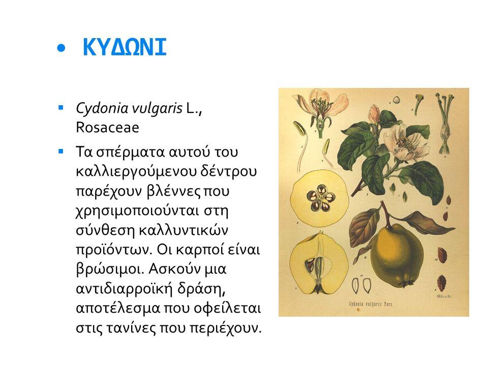 • ΚΥΔΩΝΙ Cydonia vulgaris L., Rosaceae