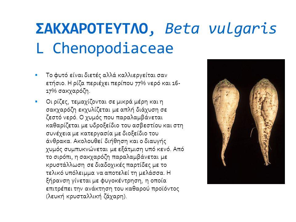 ΣΑΚΧΑΡΟΤΕΥΤΛΟ, Beta vulgaris L Chenopodiaceae