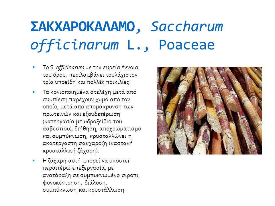 ΣΑΚΧΑΡΟΚΑΛΑΜΟ, Saccharum officinarum L., Poaceae