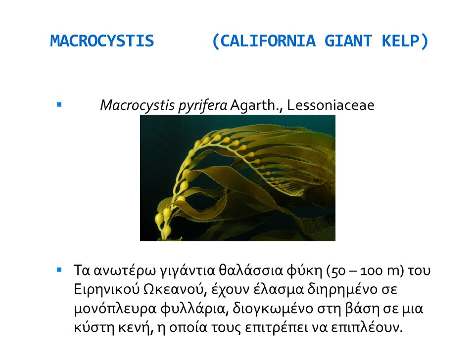 MACROCYSTIS (CALIFORNIA GIANT KELP)