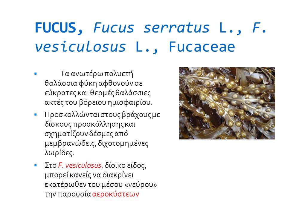 FUCUS, Fucus serratus L., F. vesiculosus L., Fucaceae