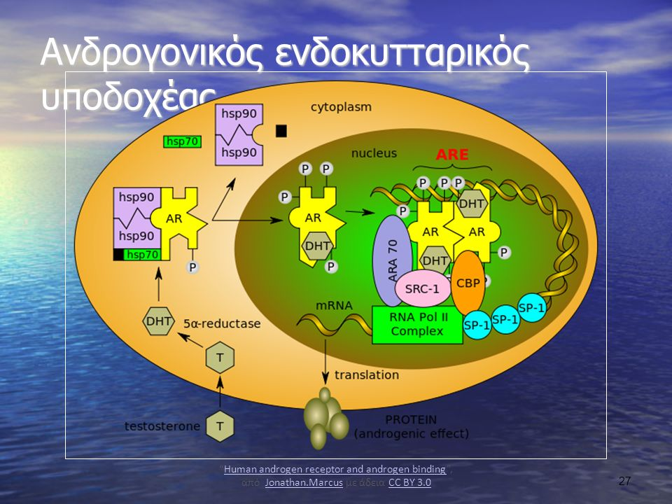 Ανδρογονικός ενδοκυτταρικός υποδοχέας