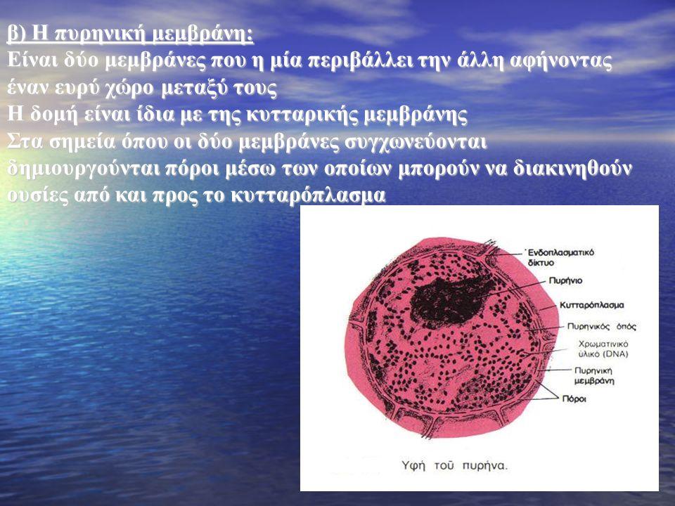 β) Η πυρηνική μεμβράνη:
