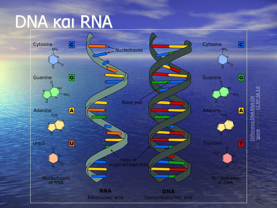 Difference DNA RNA-EN , από Sponk με άδεια CC BY-SA 3.0