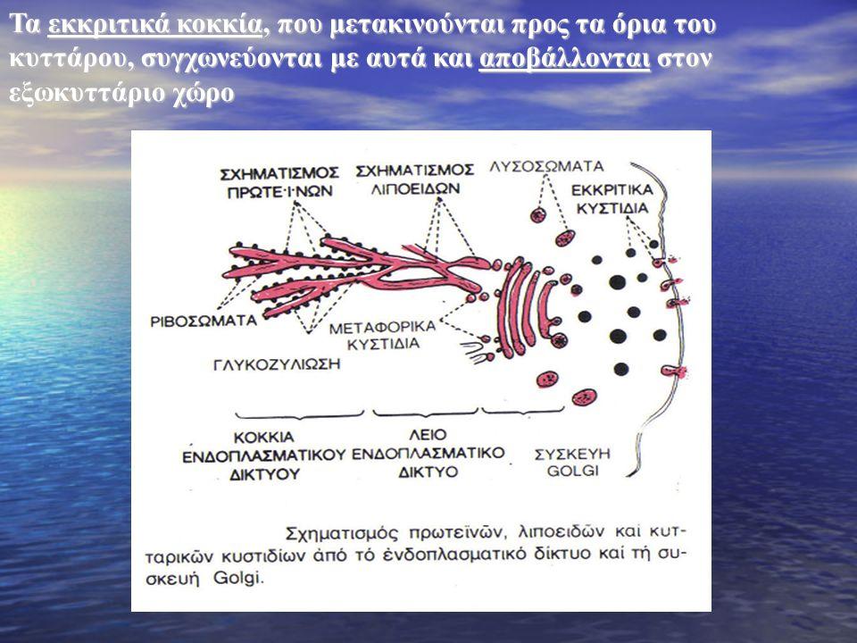 Τα εκκριτικά κοκκία, που μετακινούνται προς τα όρια του κυττάρου, συγχωνεύονται με αυτά και αποβάλλονται στον εξωκυττάριο χώρο