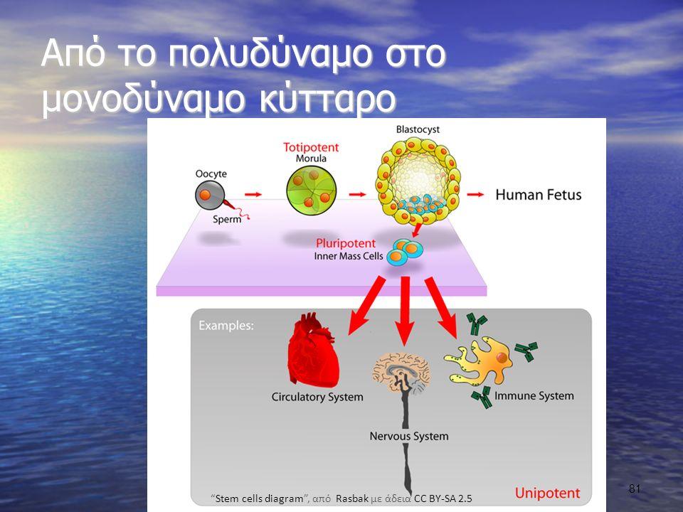 Stem cells diagram , από Rasbak με άδεια CC BY-SA 2.5
