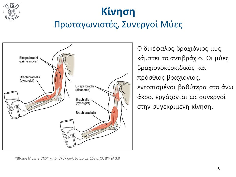 Μυϊκές Ομάδες 1/3 Posterior Hip Muscles 1 , από Beth ohara διαθέσιμο με άδεια CC BY-SA 3.0