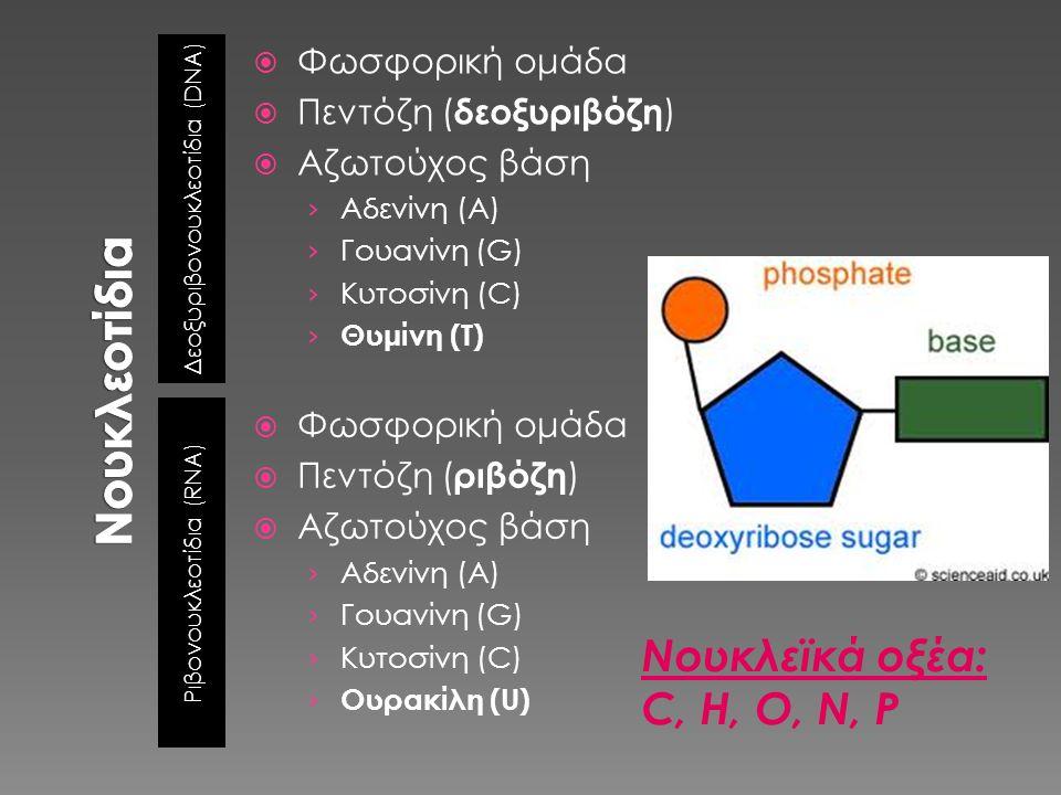 Νουκλεοτίδια Νουκλεϊκά οξέα: C, H, O, N, P Φωσφορική ομάδα