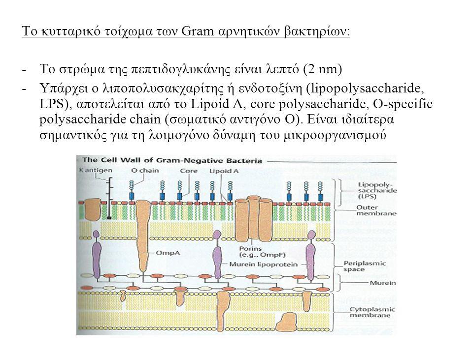 Το κυτταρικό τοίχωμα των Gram αρνητικών βακτηρίων: