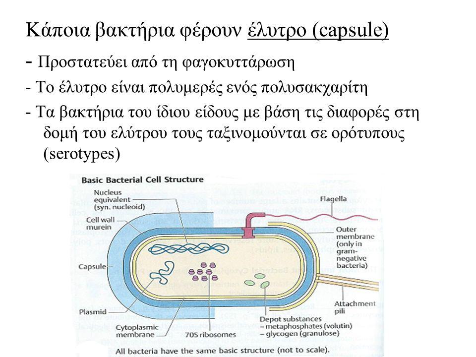 Κάποια βακτήρια φέρουν έλυτρο (capsule)
