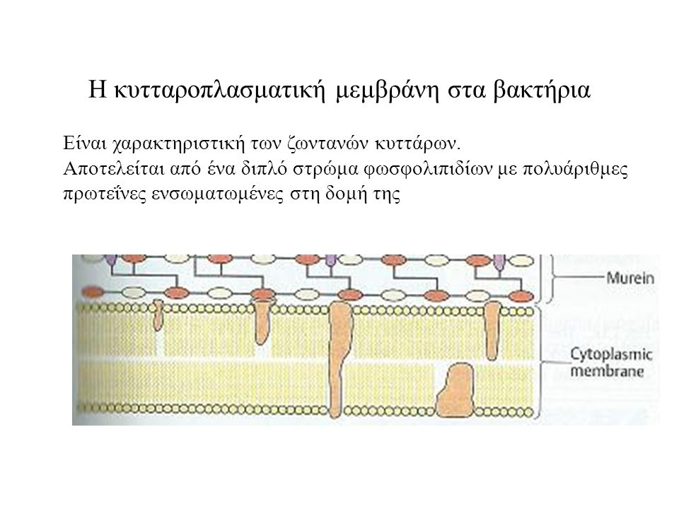 Η κυτταροπλασματική μεμβράνη στα βακτήρια