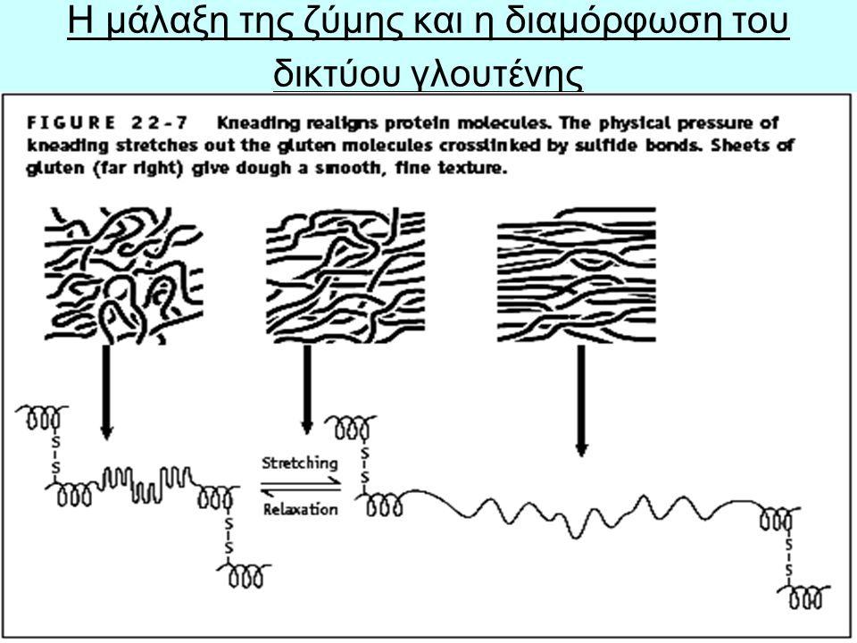 H μάλαξη της ζύμης και η διαμόρφωση του δικτύου γλουτένης