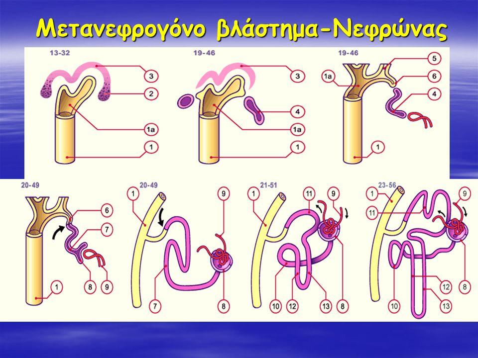 Μετανεφρογόνο βλάστημα-Νεφρώνας