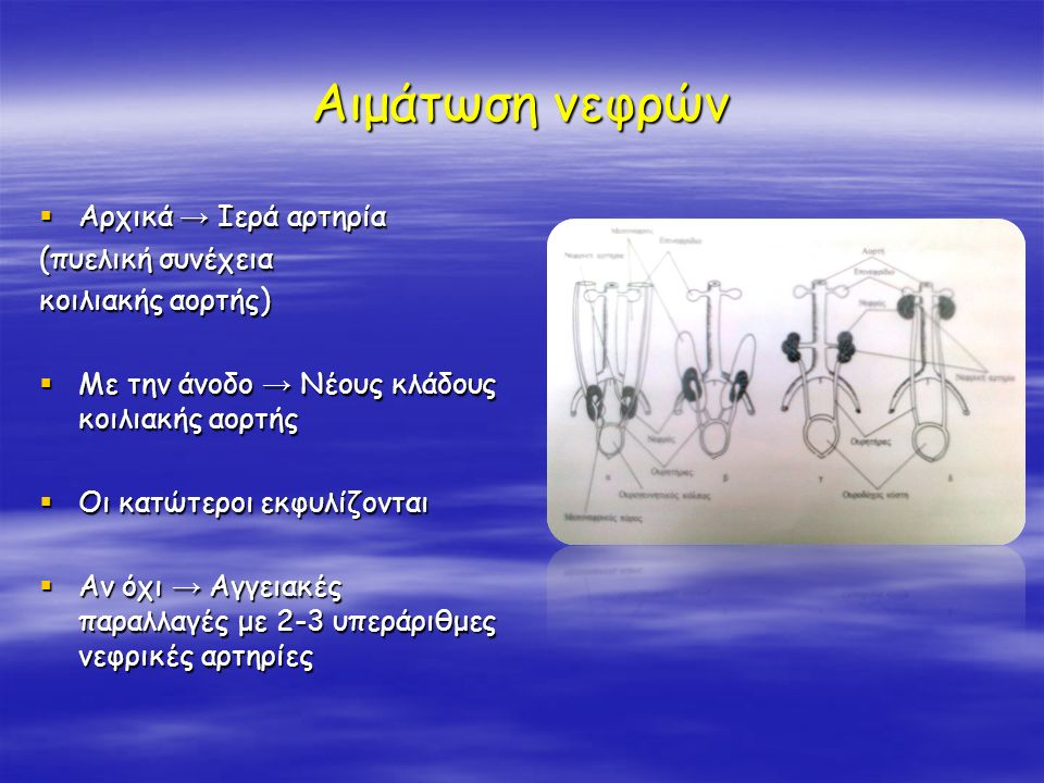 Αιμάτωση νεφρών Αρχικά → Ιερά αρτηρία (πυελική συνέχεια