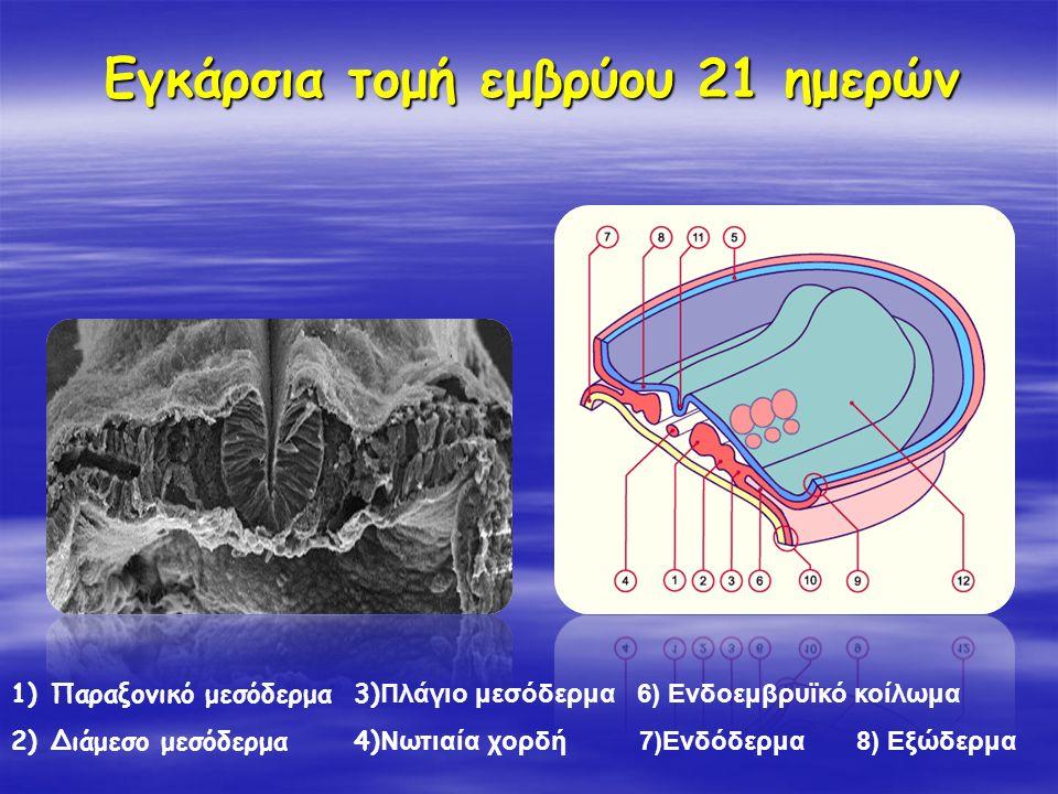 Εγκάρσια τομή εμβρύου 21 ημερών