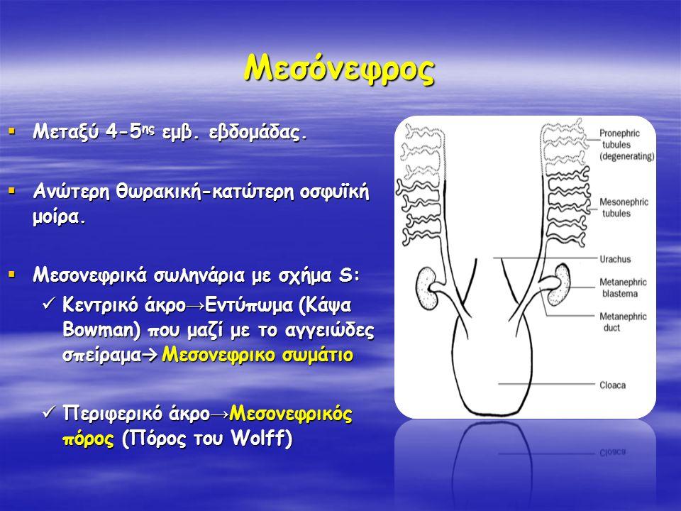 Μεσόνεφρος Μεταξύ 4-5ης εμβ. εβδομάδας.