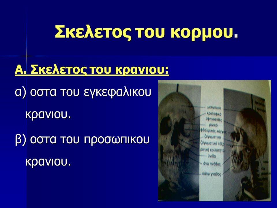 Σκελετος του κορμου. Α. Σκελετος του κρανιου: