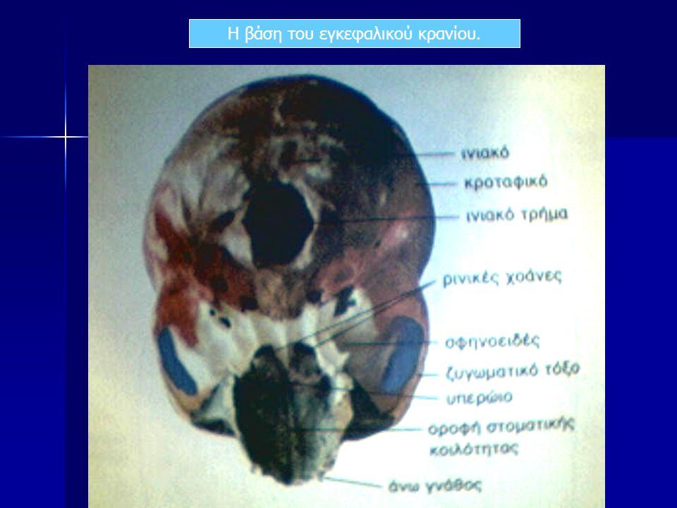 Η βάση του εγκεφαλικού κρανίου.