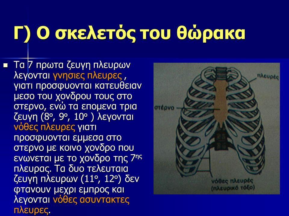 Γ) Ο σκελετός του θώρακα