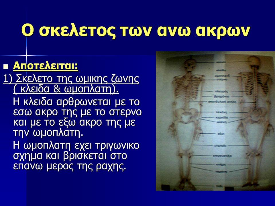 Ο σκελετος των ανω ακρων