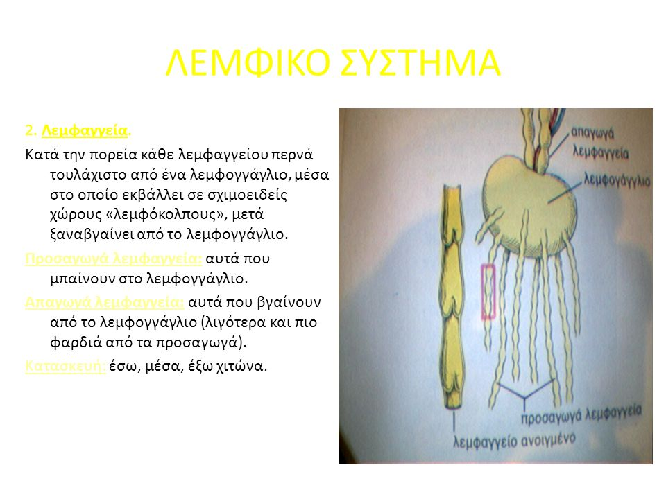 ΛΕΜΦΙΚΟ ΣΥΣΤΗΜΑ 2. Λεμφαγγεία.