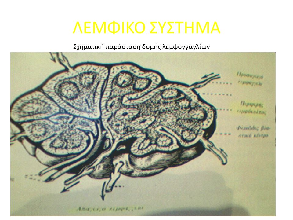 ΛΕΜΦΙΚΟ ΣΥΣΤΗΜΑ Σχηματική παράσταση δομής λεμφογγαγλίων