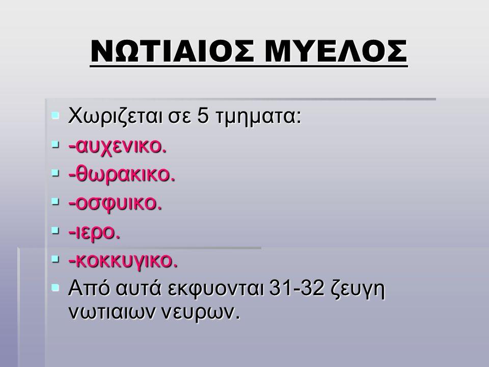 ΝΩΤΙΑΙΟΣ ΜΥΕΛΟΣ Χωριζεται σε 5 τμηματα: -αυχενικο. -θωρακικο.