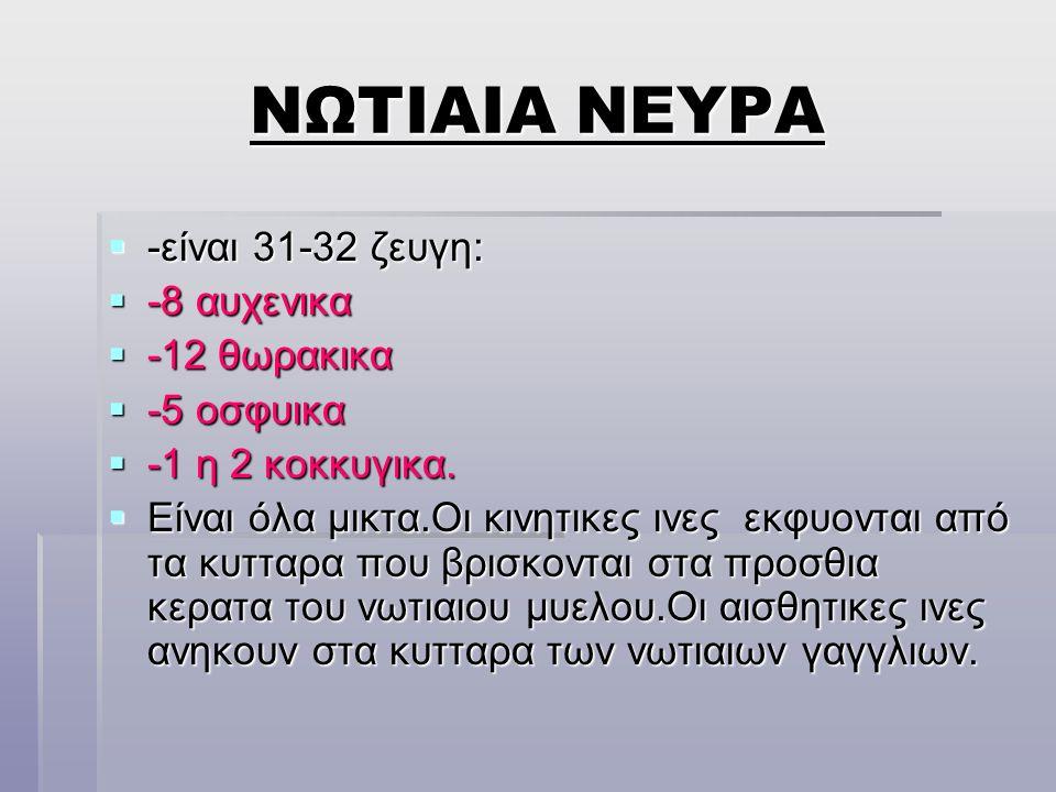 ΝΩΤΙΑΙΑ ΝΕΥΡΑ -είναι 31-32 ζευγη: -8 αυχενικα -12 θωρακικα -5 οσφυικα