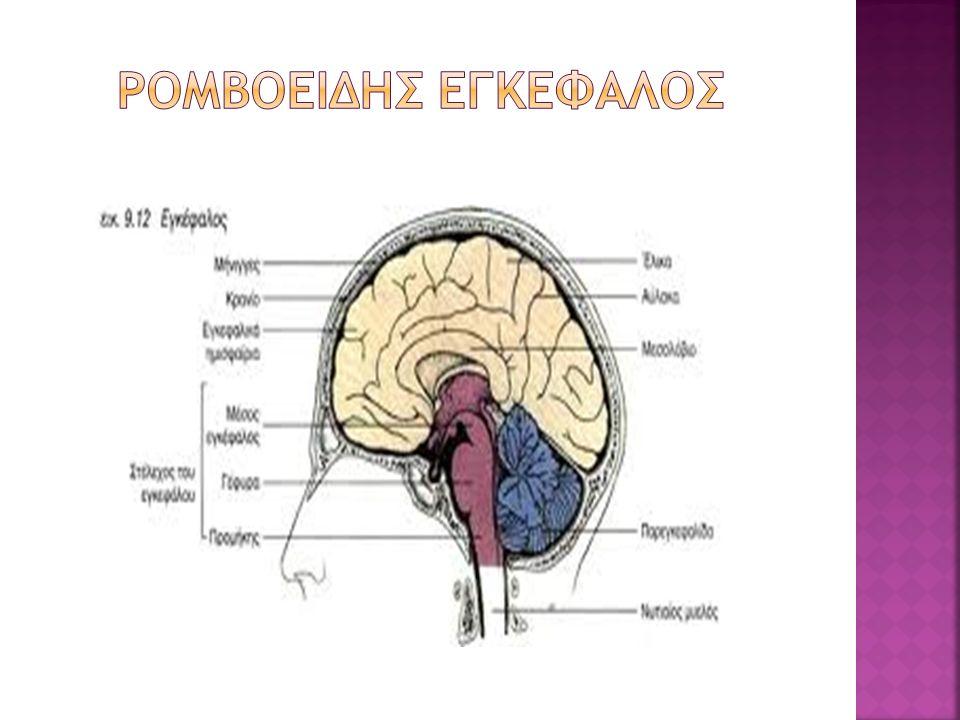 Ρομβοειδησ εγκεφαλοσ