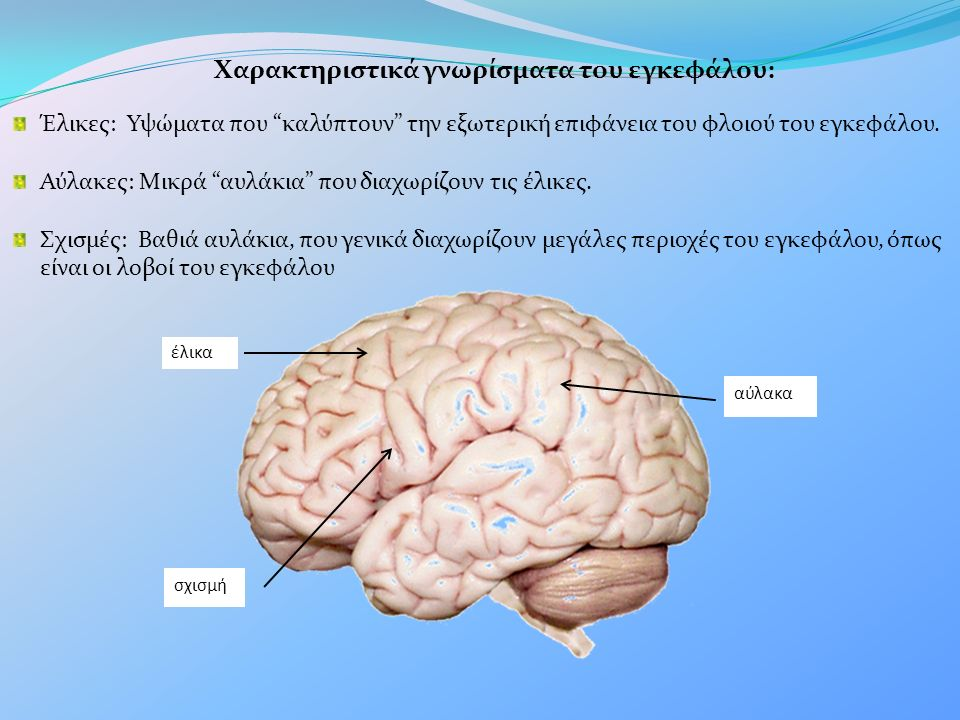 Χαρακτηριστικά γνωρίσματα του εγκεφάλου: