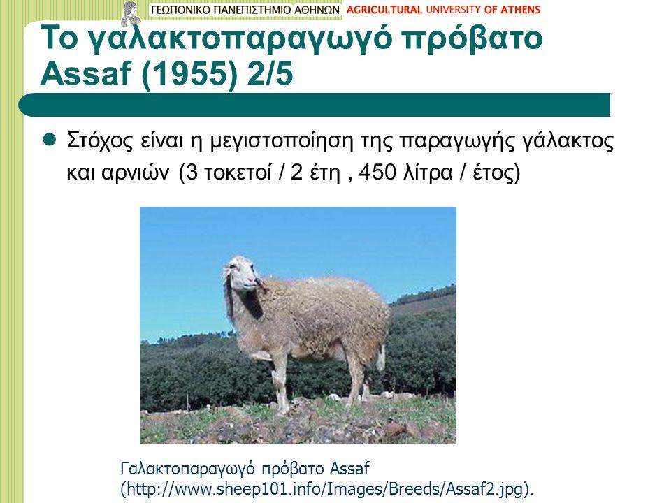 Το γαλακτοπαραγωγό πρόβατο Assaf (1955) 2/5
