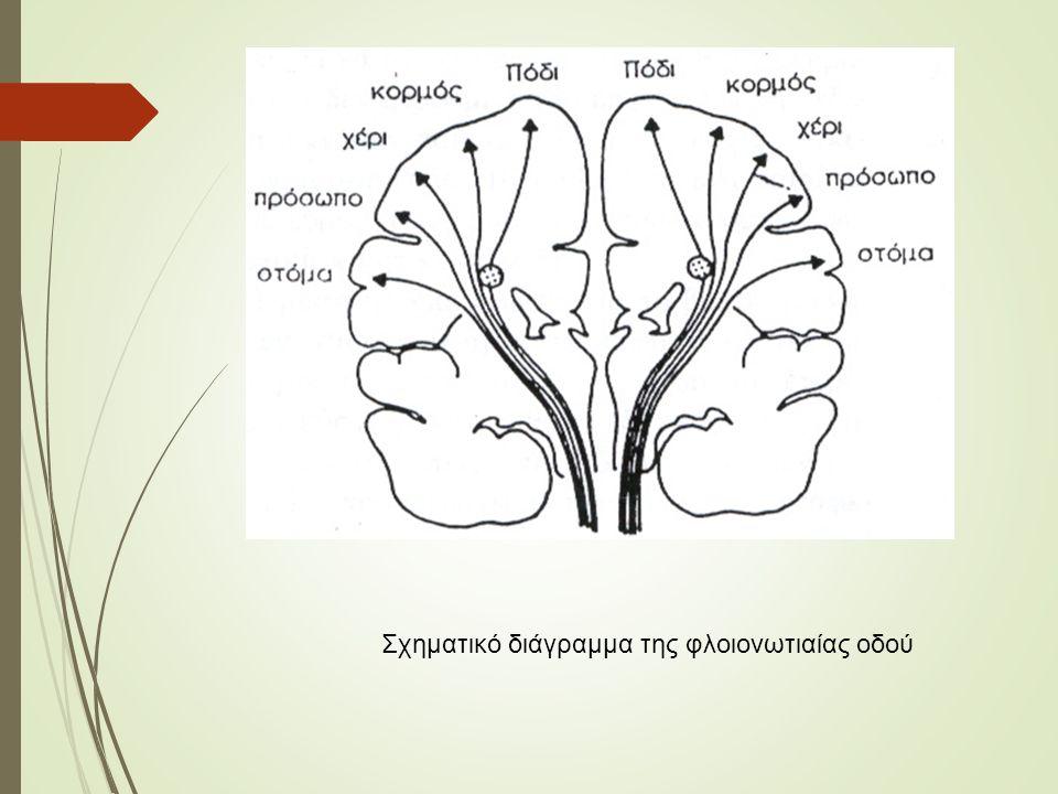 Σχηματικό διάγραμμα της φλοιονωτιαίας οδού